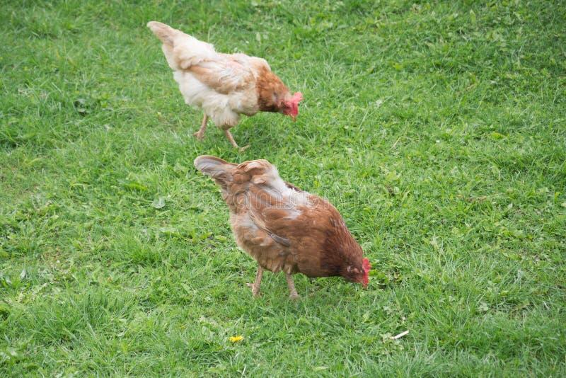 Duas galinhas na grama verde imagem de stock royalty free