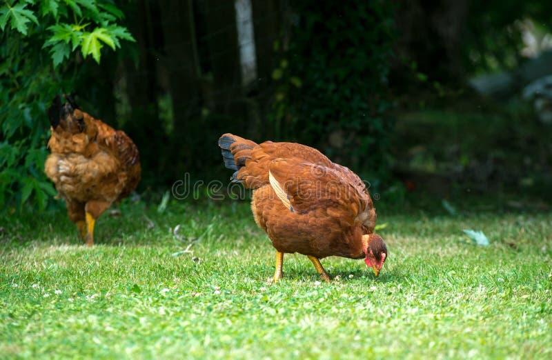 Duas galinhas que bicam no gramado fotos de stock