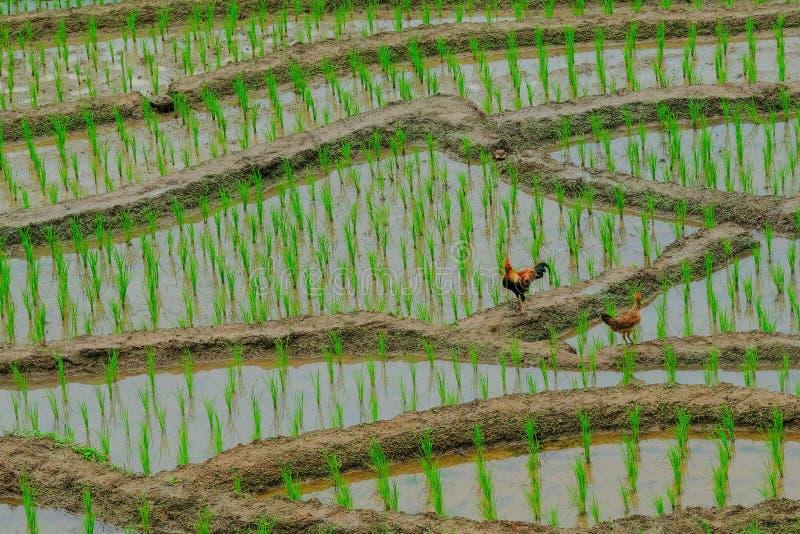 Duas galinhas que estão na terra fotos de stock royalty free