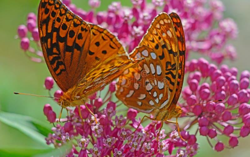 Duas grandes borboletas Spangled do Fritillary que alimentam no Milkweed cor-de-rosa fotografia de stock