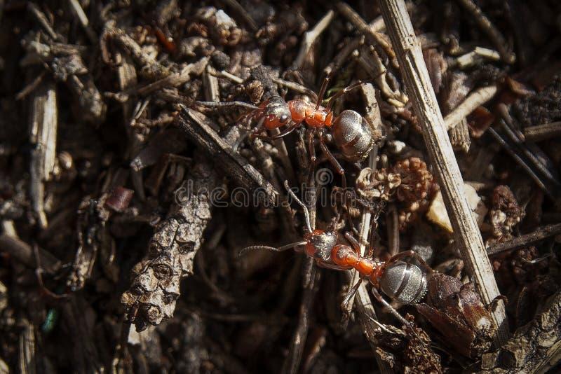 Duas grandes formigas da floresta em um dia ensolarado na floresta fotografia de stock