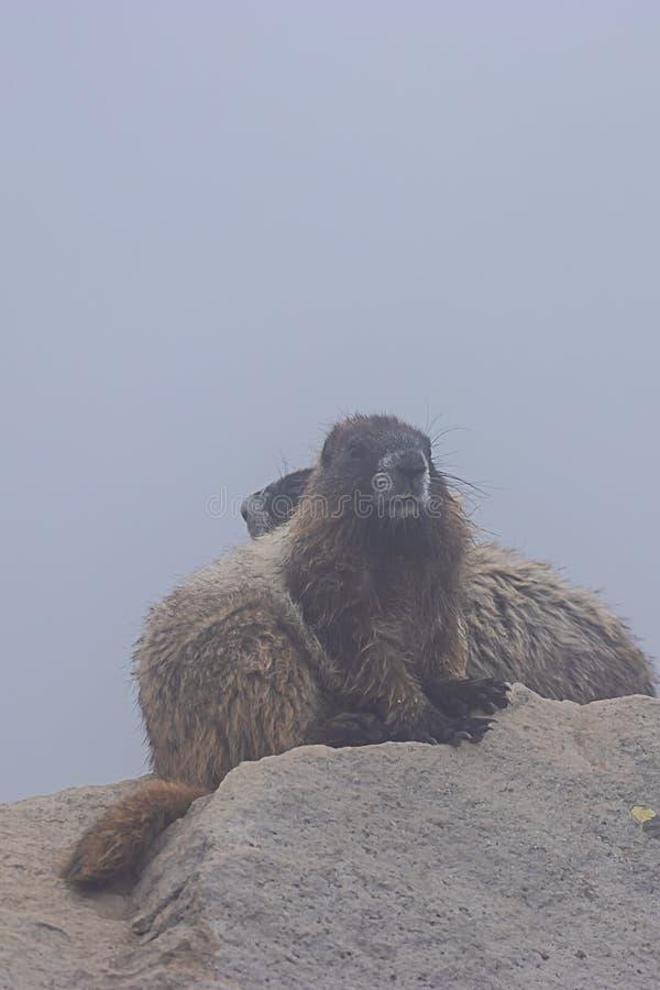 duas grandes marmota sentam-se sobre a grande pedra na névoa fotografia de stock royalty free