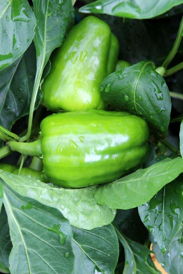 Duas grandes pimentas verdes dobradas entre as folhas saudáveis da planta fotografia de stock royalty free