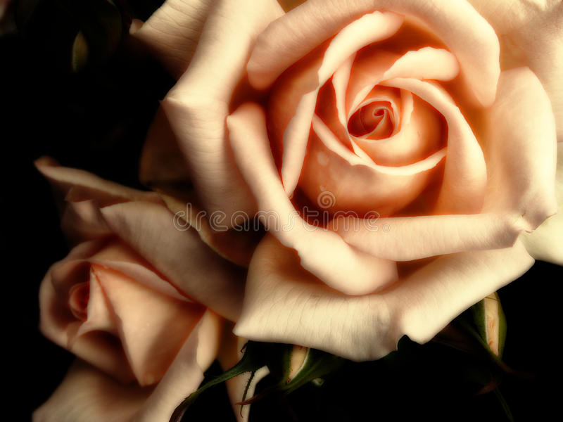 Duas grandes rosas alaranjadas fotos de stock