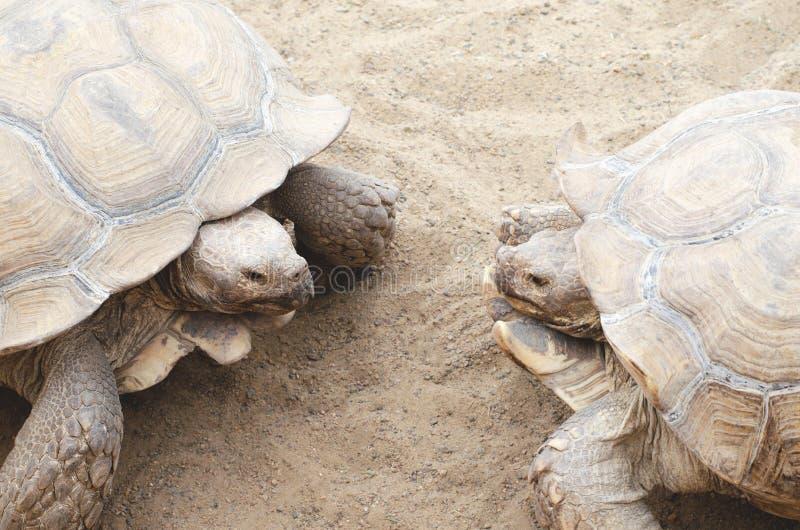 Duas grandes tartarugas na estação de acoplamento imagens de stock