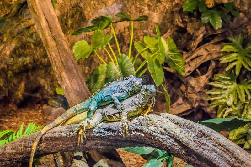 Duas iguanas engraçadas que colocam sobre se, comportamento animal dominante, animais de estimação populares no herpetoculture fotos de stock royalty free