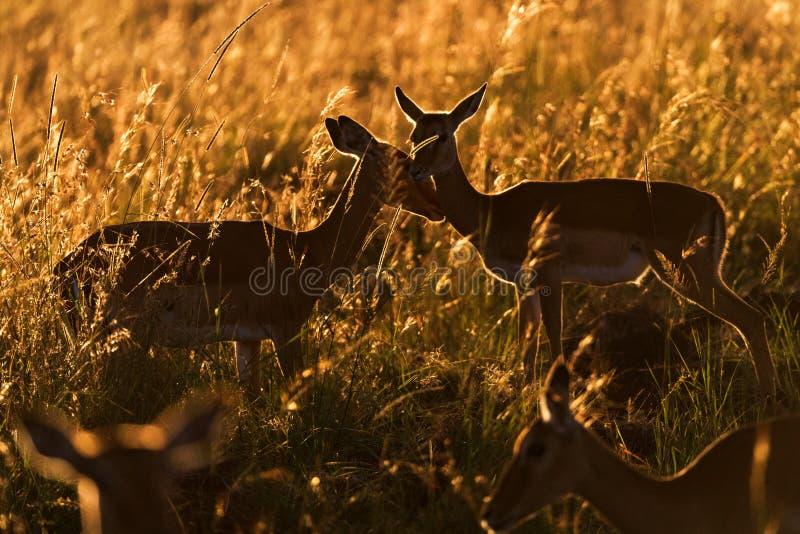 Duas impalas afetuosas no nascer do sol imagem de stock royalty free