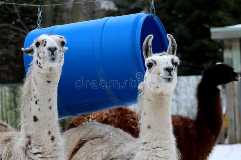 Duas Lamas brancas com pontos pretos foto de stock royalty free