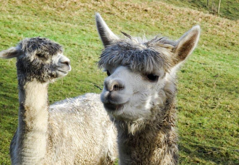 Duas Lamas em um campo verde com a uma grama de mastigação dianteira fotografia de stock