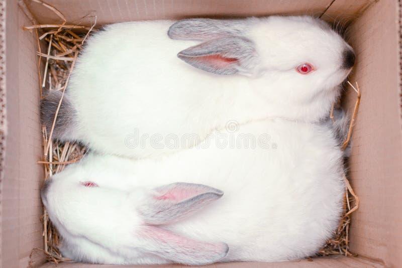 Duas lebres brancas estão sentando-se em umas caixas de cartão Coelhos de coelhinho da P?scoa Preparação da Páscoa, animais de ex fotografia de stock royalty free
