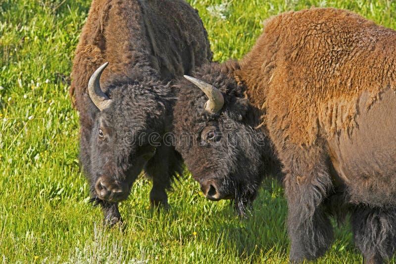Duas lutas da prática do bisonte do touro dos jovens. imagem de stock