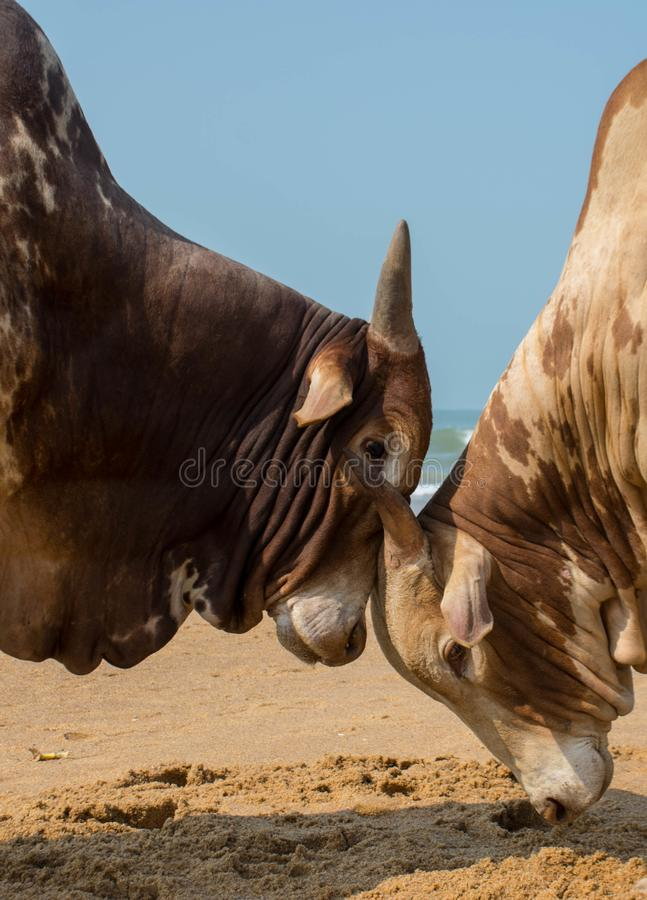 Duas lutas de touros na praia foto de stock royalty free