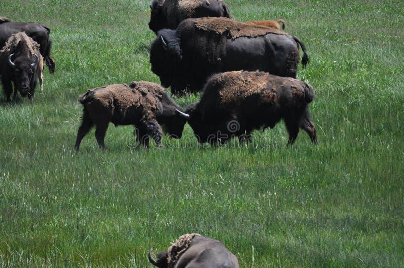 2 duas lutas do búfalo do bisonte americano imagem de stock royalty free