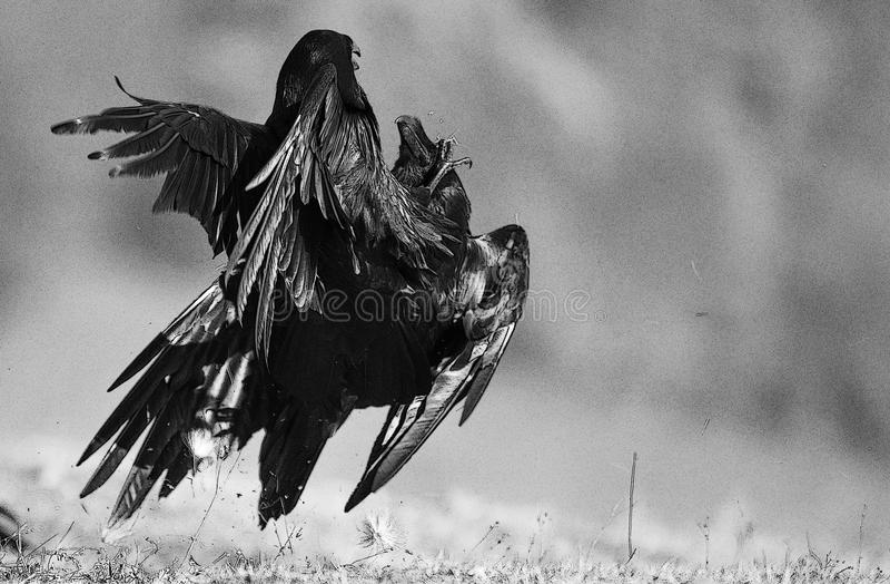 Duas lutas do corax do Corvus dos corvos Filtro de BW imagens de stock royalty free