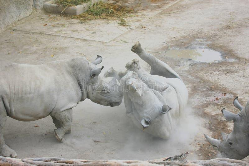 Duas lutas do rinoceronte imagem de stock royalty free