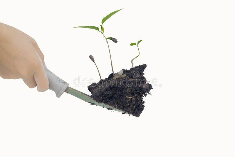 Duas mãos que guardam a árvore e o isolado no fundo branco foto de stock royalty free