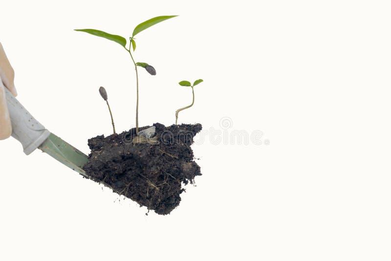 Duas mãos que guardam a árvore e o isolado no fundo branco fotografia de stock royalty free