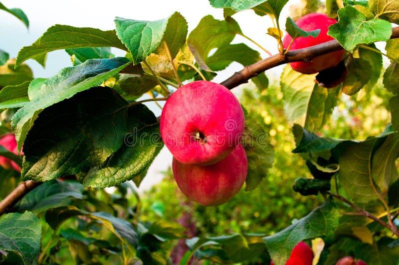 Duas maçãs vermelhas em uma filial fotografia de stock royalty free