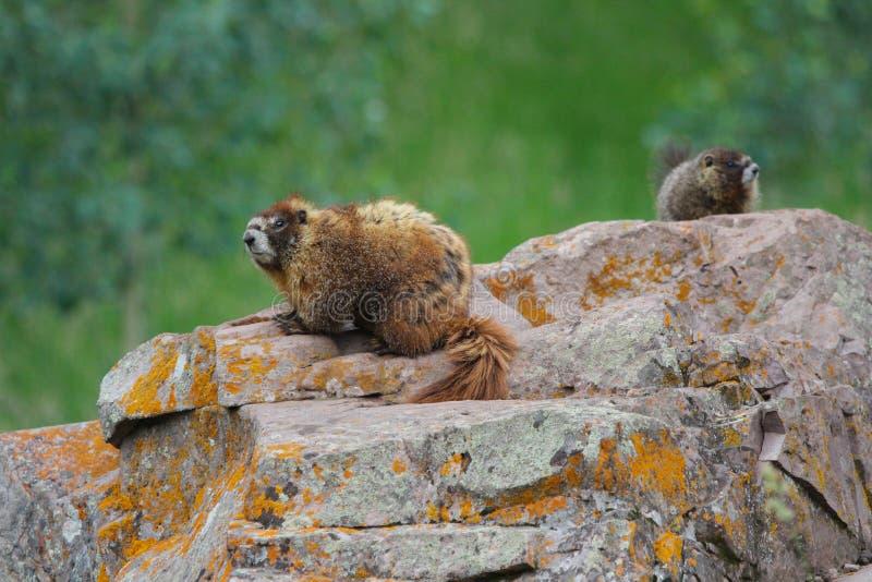 Duas marmota na rocha na floresta da montanha fotos de stock