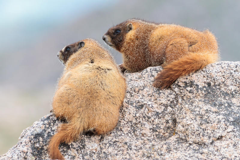 Duas marmota que descansam na rocha na parte superior da montagem Evans, Colorado fotos de stock royalty free