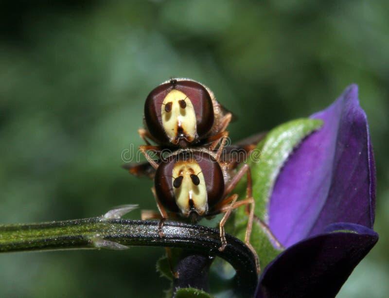 Duas moscas que acoplam-se, vista dianteira do pairo. imagens de stock