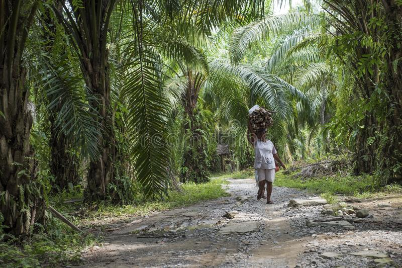 Duas mulheres indonésias levam a madeira em suas cabeças em uma plantação das palmeiras em Sumatra fotos de stock royalty free