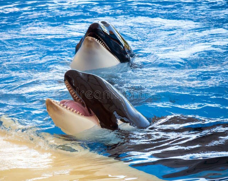 Duas orcas fotografia de stock