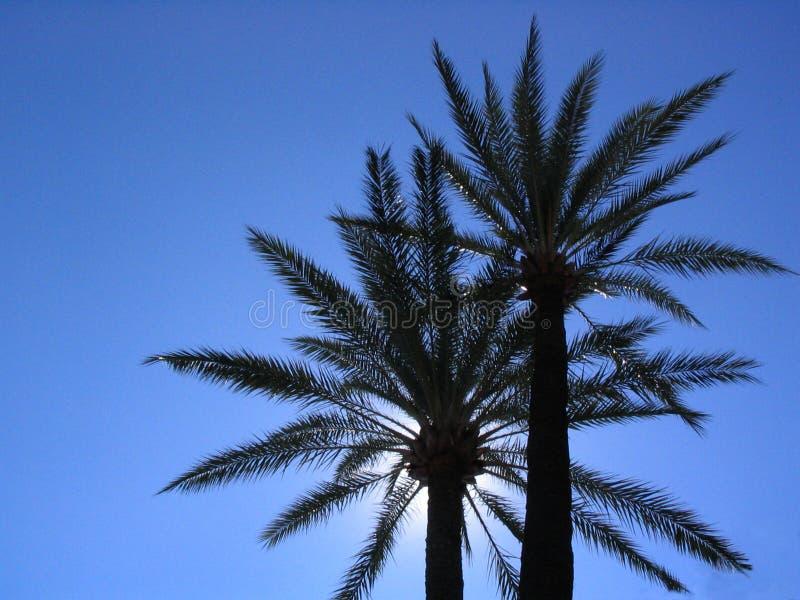 Duas palma-árvores imagens de stock royalty free