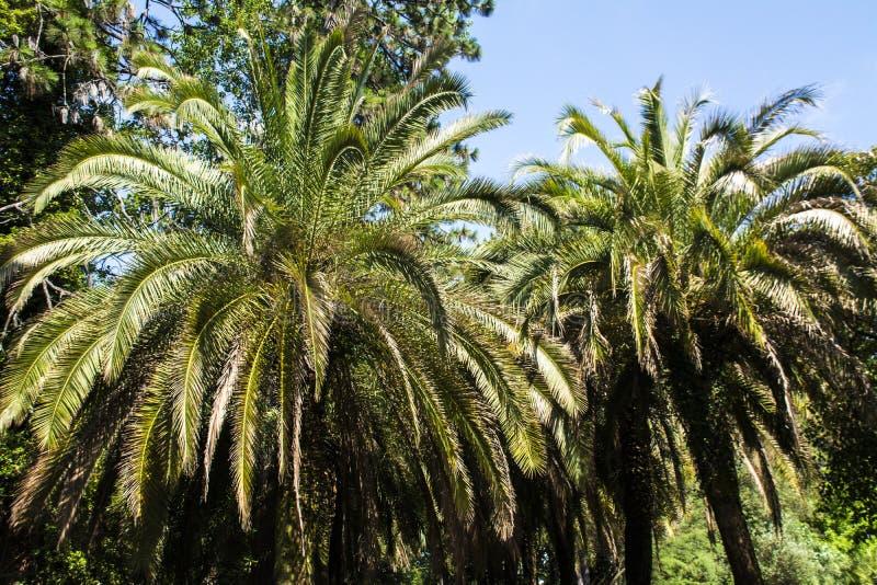 Duas palmeiras foto de stock