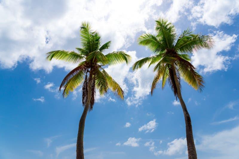 Duas palmeiras contra o céu azul imagem de stock royalty free