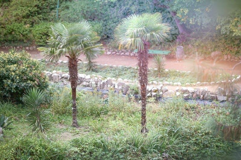 Duas palmeiras crescem em um parque do verão imagens de stock