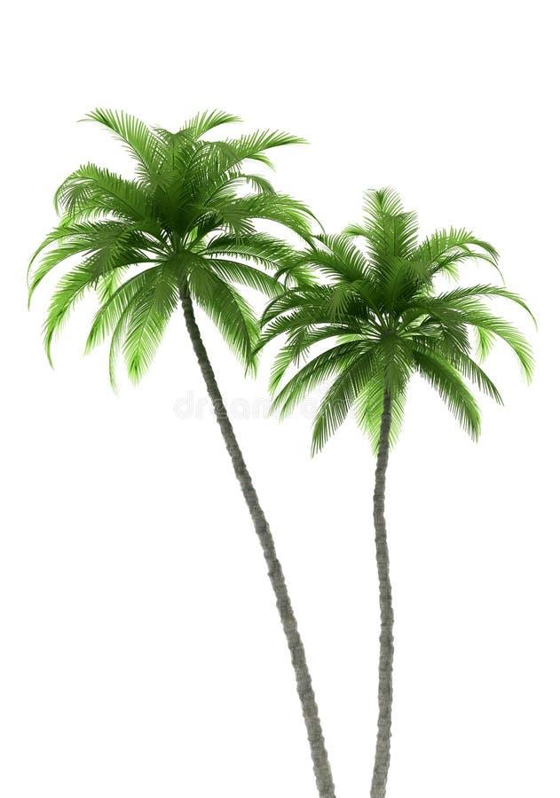 Duas palmeiras isoladas no fundo branco ilustração royalty free
