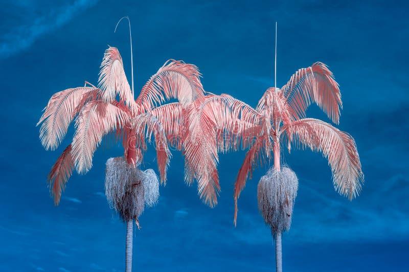 Duas palmeiras na cor infravermelha fotos de stock