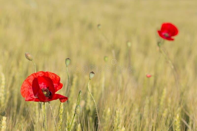 Duas papoilas vermelhas bonitas em um campo de trigo verde no verão fotos de stock royalty free