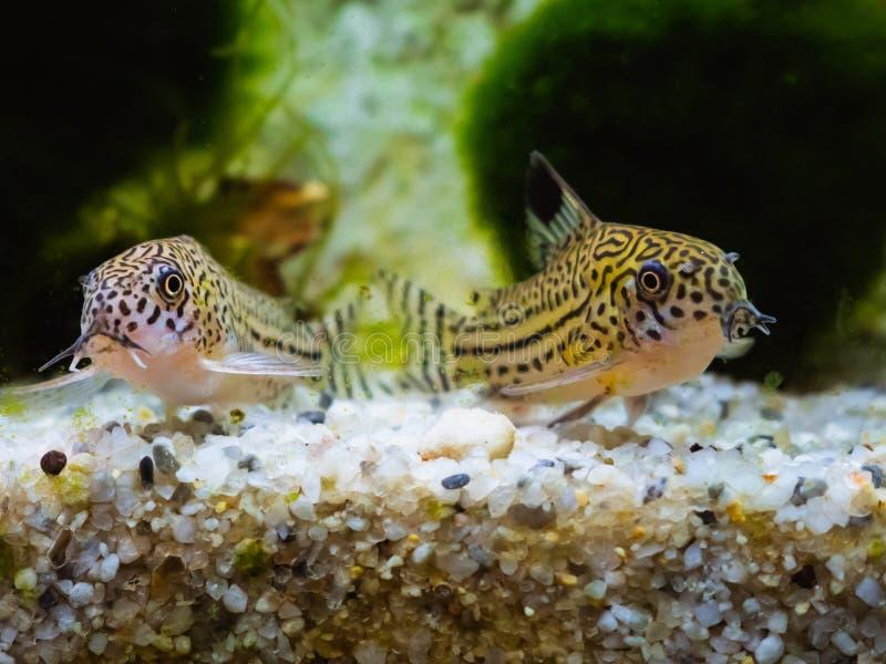 Duas pequenas manchas Cory catfish lado a lado fotografia de stock royalty free