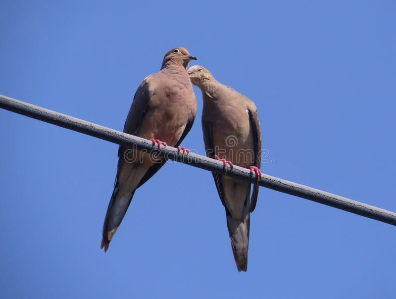 Duas pombas de lamentação que beijam em uma linha elétrica fotografia de stock royalty free