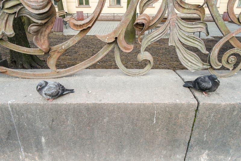 Duas pombas de St Petersburg fotografia de stock