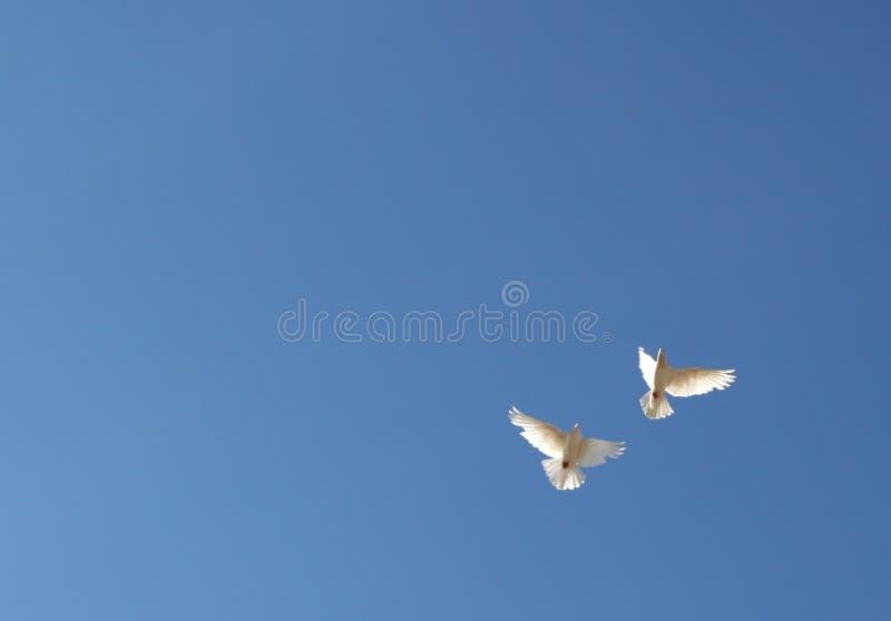 Duas pombas no vôo foto de stock