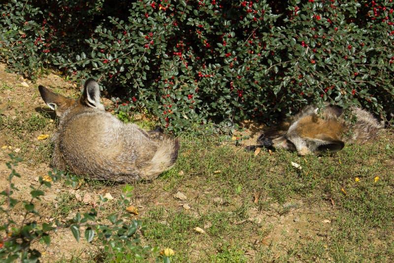 Duas raposas bastão-orelhudas que dormem sob o arbusto da baga fotografia de stock royalty free