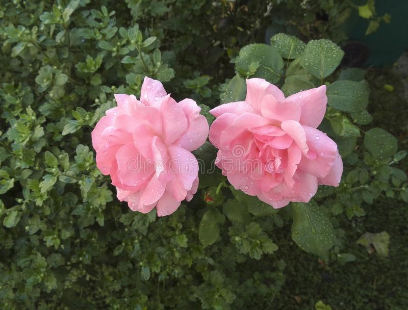 Duas rosas cor-de-rosa foto de stock royalty free