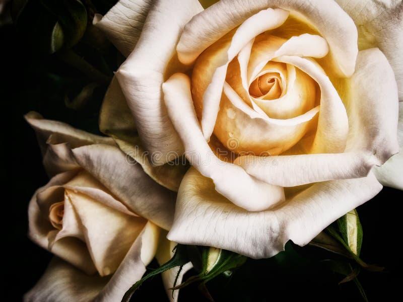 Duas rosas de creme pálidas fotos de stock royalty free