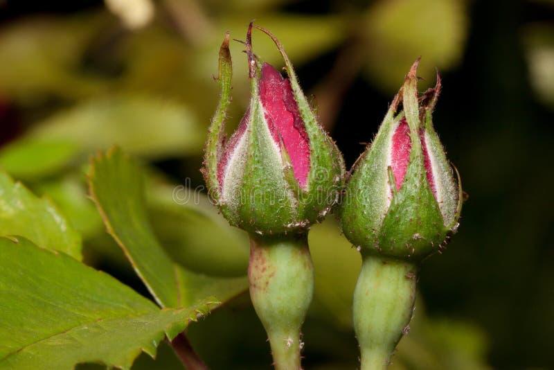 Duas rosas não florescidas que crescem em um prado verde fotos de stock royalty free