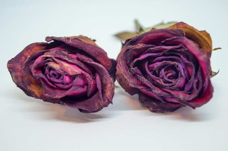 Duas rosas secas isolaram o fundo branco fotografia de stock royalty free