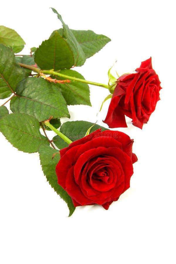 Duas rosas vermelhas imagem de stock
