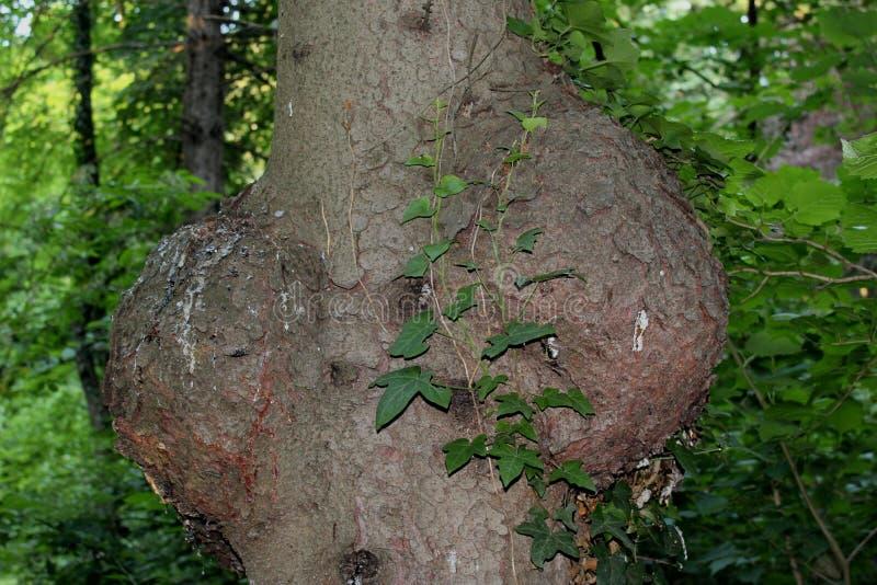 Duas saliências em uma árvore foto de stock royalty free