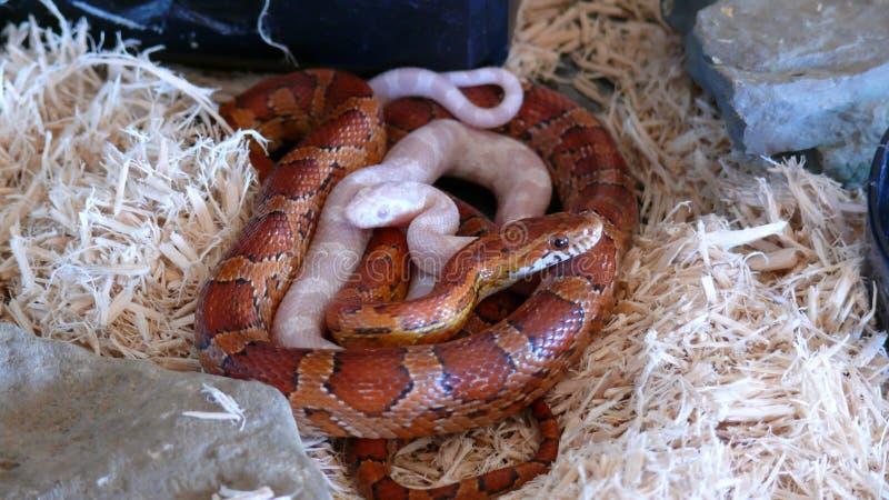 Duas serpentes de milho imagem de stock