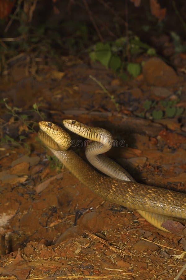 Duas serpentes de rato masculinas, mucosa do Ptyas em um combate fotos de stock