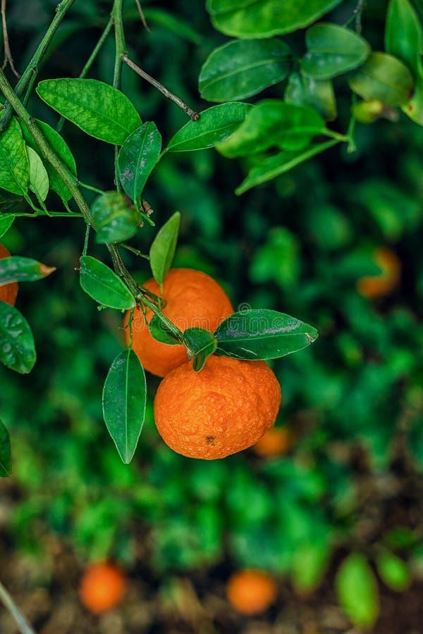 Duas tangerinas entre as folhas fotos de stock