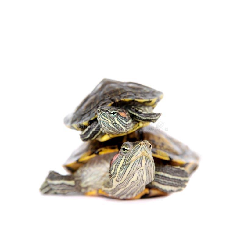 Duas tartarugas vermelho-orelhudas de água doce no branco imagem de stock