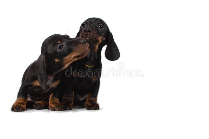 Duas taxas do cachorrinho sentam e lambem-se Isolado no fundo branco imagens de stock
